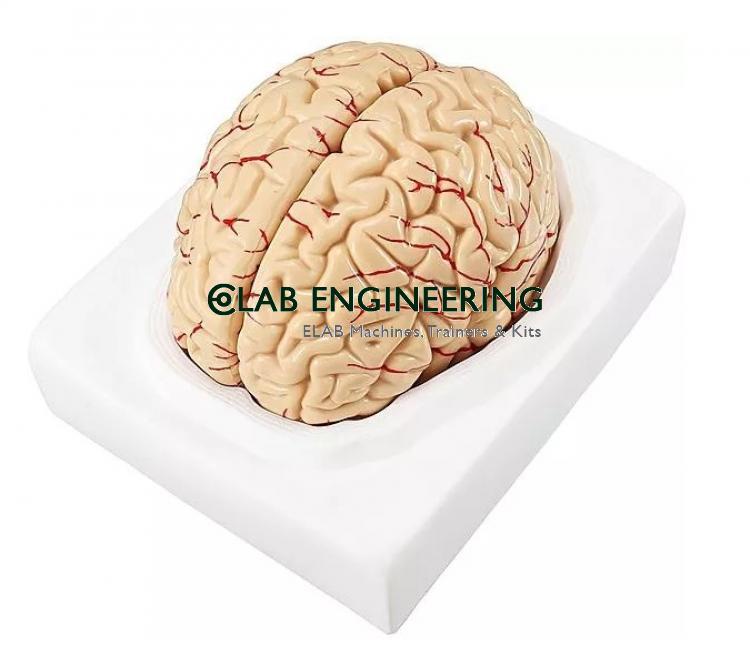 Brain Model Set of 8 Parts