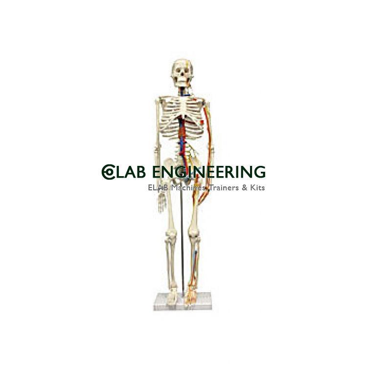 Half Size Human Skeleton 84cm