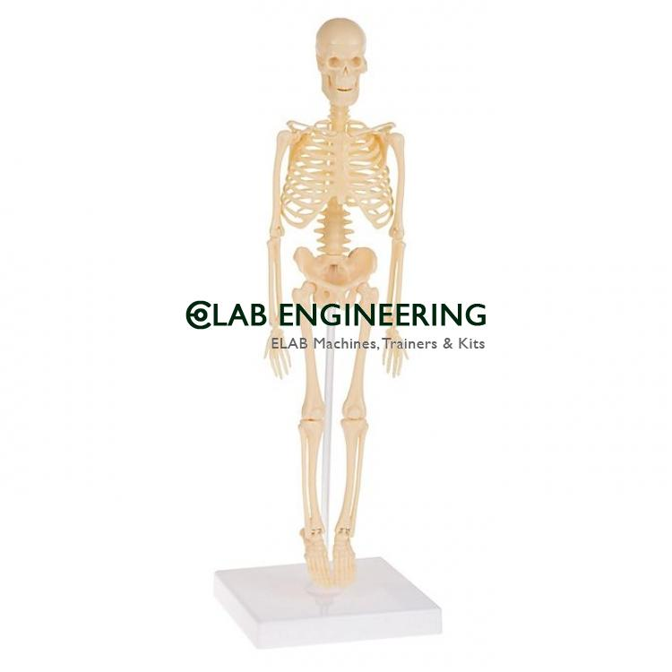 Half Size Human Skeleton 84cm with Nerve Ending
