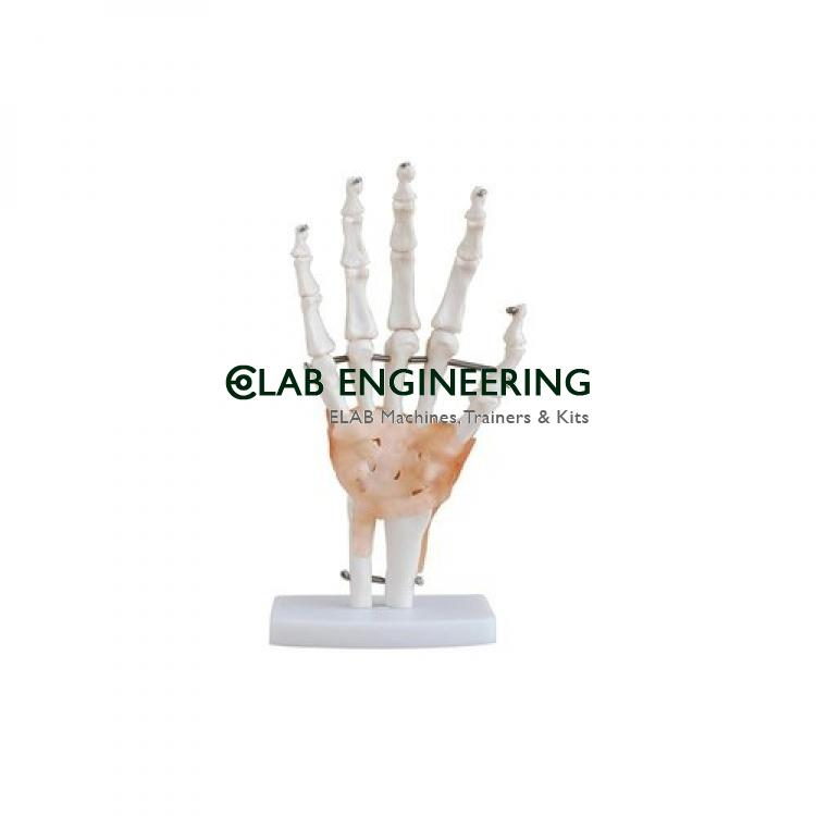 Hand Joint Model