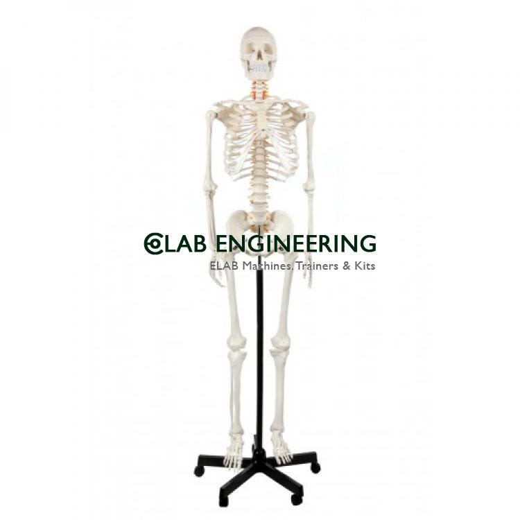 Human Skeleton Full Size Flexible with Muscle 170cm