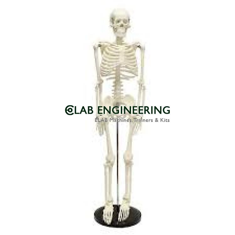 Human Skeleton Hanging Muscle and Thick Zip Dust Cover