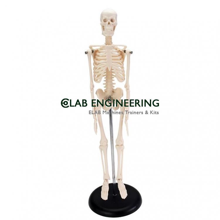 Mini Human Skeleton Tall 42 Cm