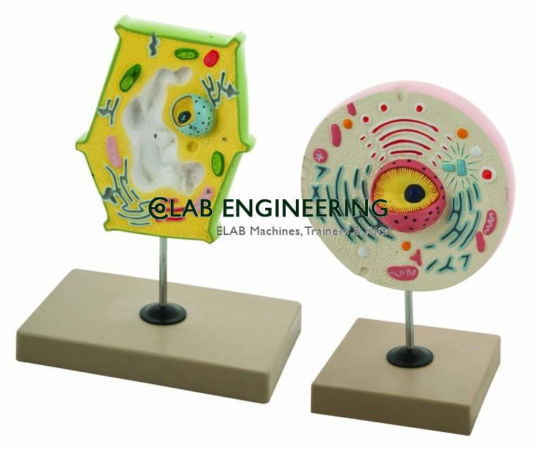 Model Plant and Animal Cell Comparison