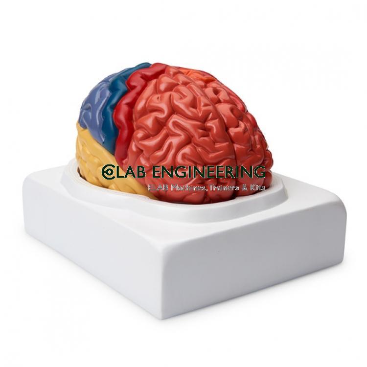 Regional Brain Model